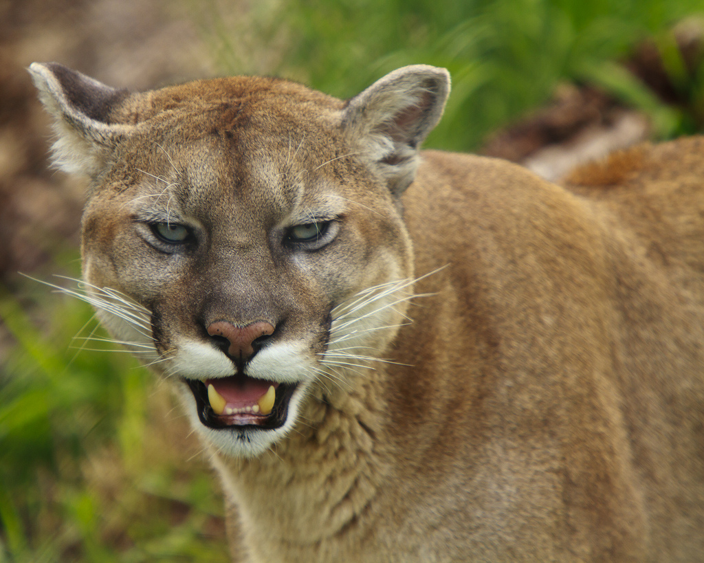 Mountain lion face - photo#27