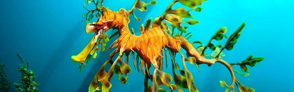leafy-seadragon2.jpg